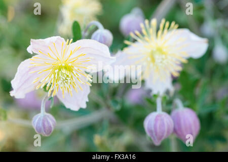 Wild Clematis (Clematis x Clematopsis) - Buttercup Family - Stock Photo
