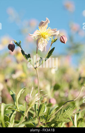 Wild Clematis x Clematopsis) - Buttercup Family - Stock Photo