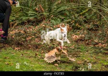 Nikita, a Boxer puppy, on the loose, being mischievous and chasing a Salmon Faverolles chicken in his backyard in - Stock Photo