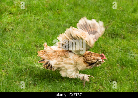 A Salmon Faverolles chicken was fleeing for its life as it was being chased by a mischievous puppy in his backyard - Stock Photo