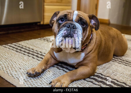 Tessa, the English Bulldog, on a 'down' and 'stay' command, hopeful of a treat, in Issaquah, Washington, USA - Stock Photo