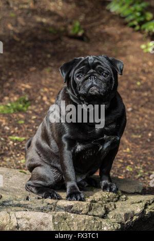 Kirby, a black Pug in Redmond, Washington, USA - Stock Photo