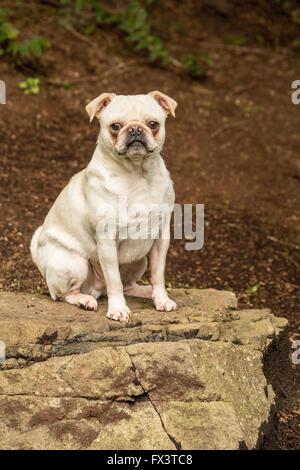 Lewee, a white Pug, posing on a rock in his yard in Redmond, Washington, USA - Stock Photo