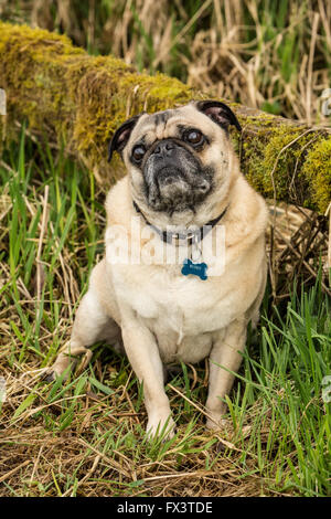 Fawn-colored Pug, Buddy, posing by a moss-covered fence in Marymoor Park in Redmond, Washington, USA - Stock Photo