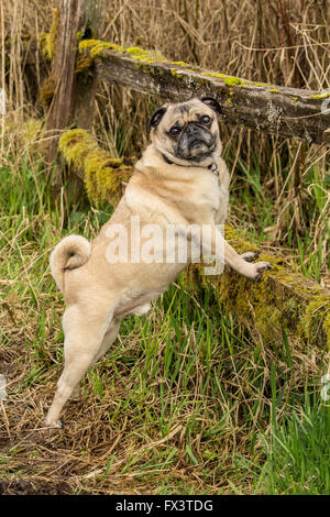 Fawn-colored Pug, Buddy, posing by a moss-covered fence in Marymoor Dog Park in Redmond, Washington, USA - Stock Photo