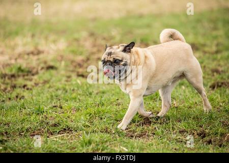 Fawn-colored Pug, Buddy, walking in a field in Marymoor Park in Redmond, Washington, USA - Stock Photo