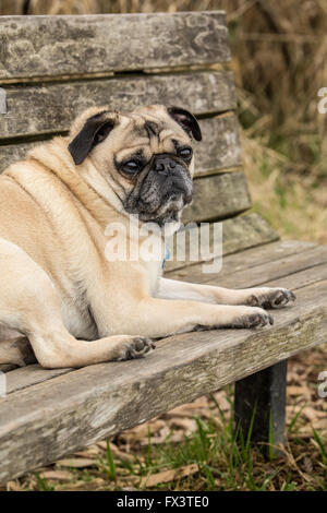 Fawn-colored Pug, Buddy, resting on a wooden park bench in Marymoor Park in Redmond, Washington, USA - Stock Photo