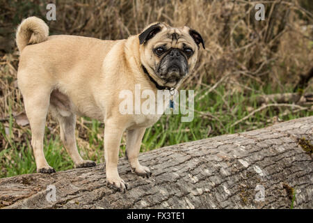 Fawn-colored Pug, Buddy, standing on a fallen tree in Marymoor Park in Redmond, Washington, USA - Stock Photo