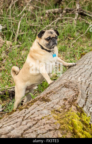 Fawn-colored Pug, Buddy, about to jump onto a fallen tree in Marymoor Park in Redmond, Washington, USA - Stock Photo