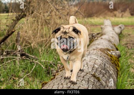 Fawn-colored Pug, Buddy,walking on a fallen tree in Marymoor Park in Redmond, Washington, USA - Stock Photo