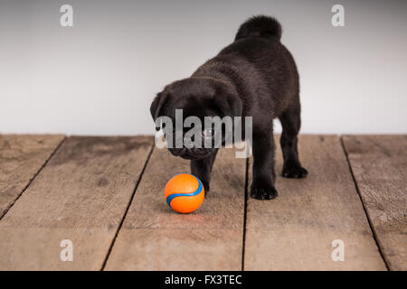 Fitzgerald, a 10 week old black Pug puppy looking at his ball in Issaquah, Washington, USA - Stock Photo