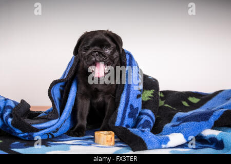 Fitzgerald, a 10 week old black Pug puppy yawning and curled up in a blanket in Issaquah, Washington, USA - Stock Photo