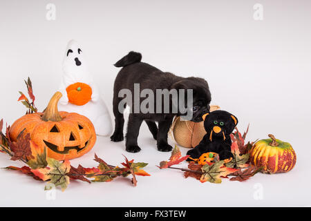 Fitzgerald, a 10 week old black Pug puppy surrounded by Halloween decorations in Issaquah, Washington, USA - Stock Photo