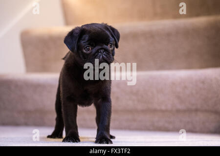 Fitzgerald, a 10 week old black Pug puppy standing on a carpeted stairwell in Issaquah, Washington, USA - Stock Photo