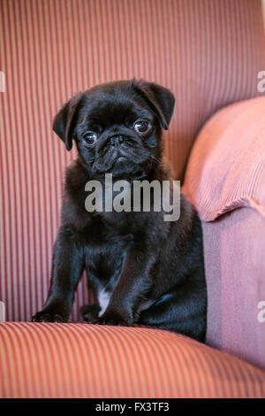 Fitzgerald, a 10 week old black Pug puppy sitting in an upholstered chair in Issaquah, Washington, USA - Stock Photo