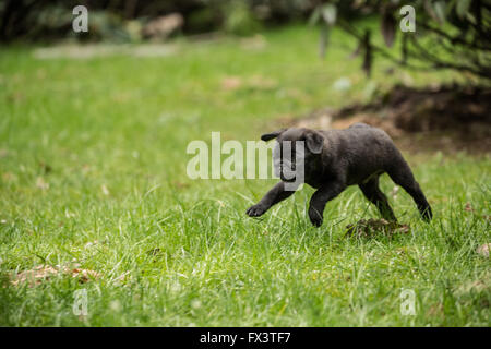 Fitzgerald, a 10 week old black Pug puppy playfully running and jumping into the air in the backyard lawn - Stock Photo