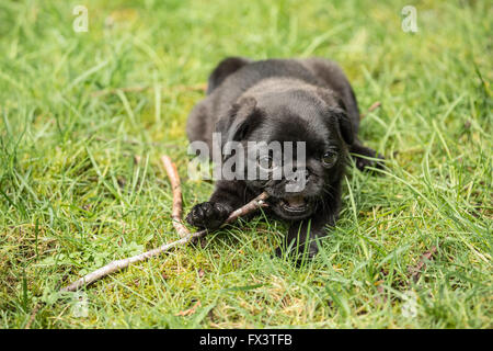 Fitzgerald, a 10 week old black Pug puppy chewing on a stick while resting on the lawn in Issaquah, Washington, - Stock Photo