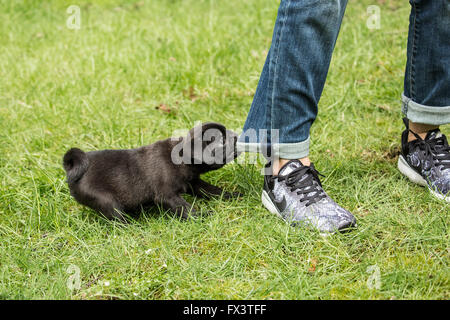 Fitzgerald, a 10 week old black Pug puppy being naughty and chewing on his owner's jeans in Issaquah, Washington, - Stock Photo