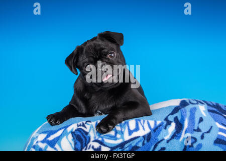Kato, a black Pug puppy resting on a pillow in Issaquah, Washington, USA - Stock Photo