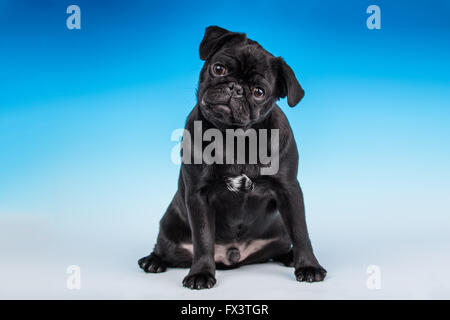 Kato, a black Pug puppy sitting in Issaquah, Washington, USA - Stock Photo