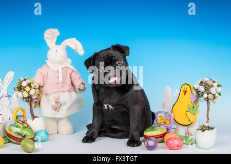 Kato, a black Pug puppy sitting among some Easter decorations in Issaquah, Washington, USA - Stock Photo