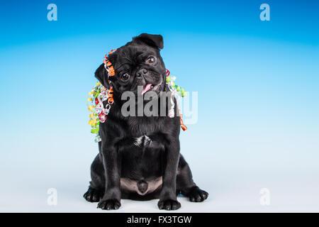 Kato, a black Pug puppy with 'Happy Birthday' ribbon on him, in Issaquah, Washington, USA - Stock Photo