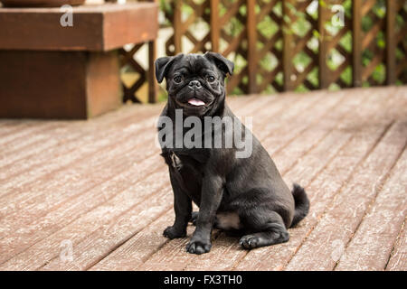 Kato, a black Pug puppy sitting on a cedar deck in Issaquah, Washington, USA - Stock Photo