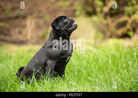 Kato, a black Pug puppy sitting in the grassy lawn in Issaquah, Washington, USA - Stock Photo