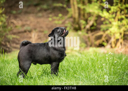 Kato, a black Pug puppy looking up from the lawn, in Issaquah, Washington, USA - Stock Photo
