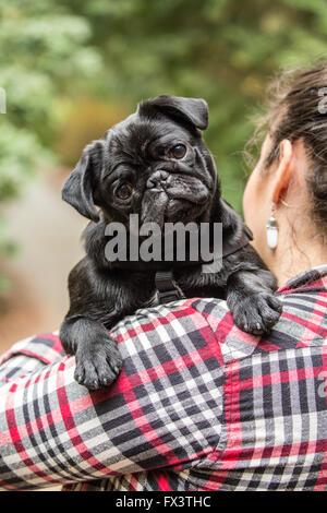 Woman holding Kato, her black Pug puppy in Issaquah, Washington, USA - Stock Photo