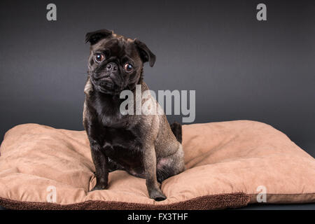 Olive, the Pug, sitting on a dog bed in Issaquah, Washington, USA - Stock Photo