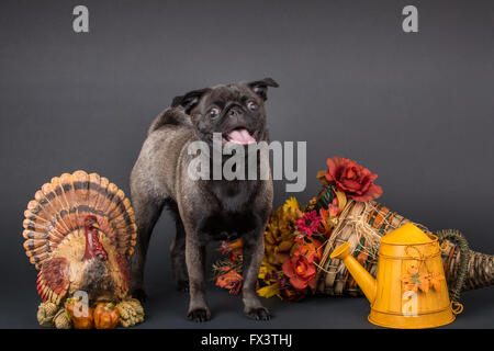 Olive, the Pug, surrounded by Thanksgiving decorations in Issaquah, Washington, USA - Stock Photo