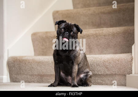 Olive, the Pug, sitting on carpeted stairs in Issaquah, Washington, USA - Stock Photo