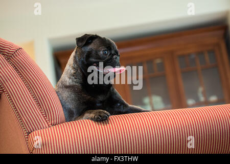 Olive, the Pug, sitting in an upholstered chair in Issaquah, Washington, USA - Stock Photo