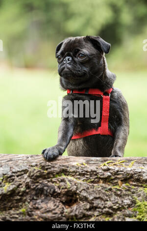 Olive, the Pug, with front paws resting on a fallen tree in Issaquah, Washington, USA - Stock Photo