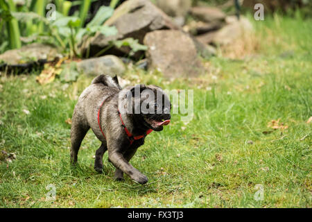 Olive, the Pug, running in the yard in Issaquah, Washington, USA - Stock Photo