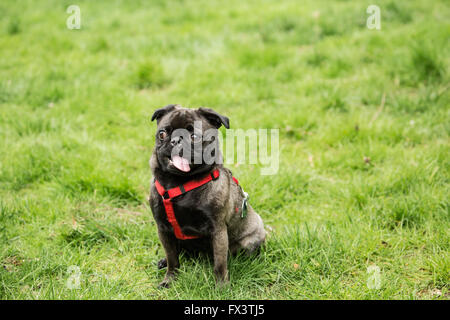 Olive, the Pug, sitting in the yard with a funny expression on her face, in Issaquah, Washington, USA - Stock Photo