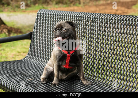 Olive, the Pug, sitting on a metal park bench in Issaquah, Washington, USA - Stock Photo