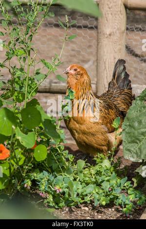 Americauna chicken foraging in the garden in Issaquah, Washington, USA - Stock Photo