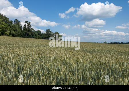 Field with green wheat in rural landscape - Stock Photo