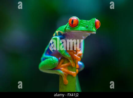 Red-Eyed Tree Frog in Costa Rican rain forest - Stock Photo