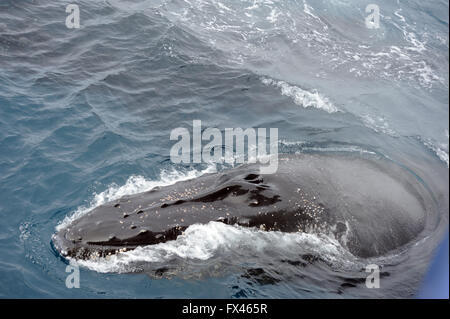 A Humpback whale surfaces (Megaptera novaeangliae) South Sandwich Islands, Southern Ocean. - Stock Photo