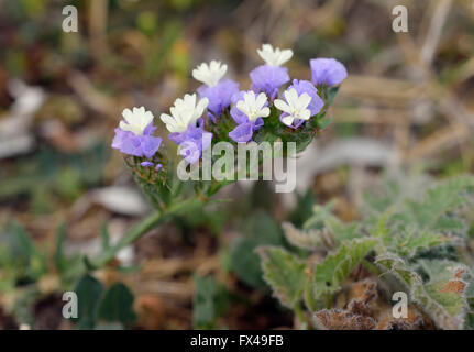 Wavy-leaf Sea Lavender - Limonium sinuatum - Stock Photo