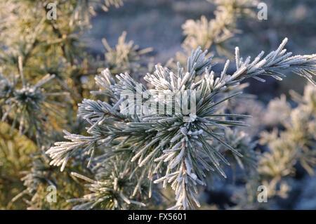 Kiefernzweig mit Raureif im Winter - pine twig with hoarfrost in winter - Stock Photo