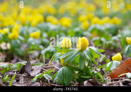 Winterling - winter aconite 03 - Stock Photo