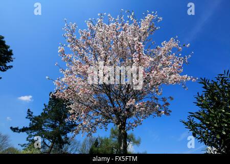 natur jahreszeiten fruehling baum baumbluete strauch rote stock photo 102155118 alamy