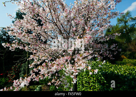Baum weiße blüten april
