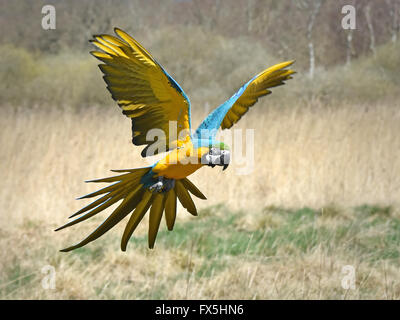 Blue and yellow Macaw in flight over its habitat - Stock Photo