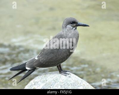Juvenile Inca Tern resting on a rock in its habitat - Stock Photo