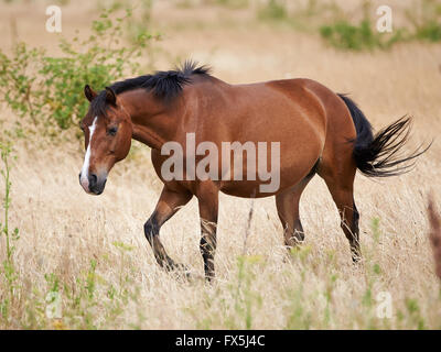 Brown horse walking in the fields in the sun - Stock Photo